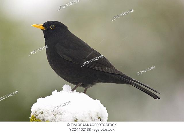 A close up bird portrait of a male Blackbird turdus merula in the snow