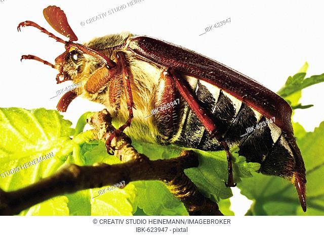 May Bug (Melolontha melolontha)