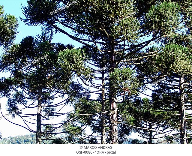 natural pine tree green leaves