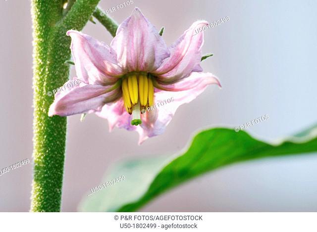 Hermaphrodite eggplant flower, Solanum melongena, Solanaceae