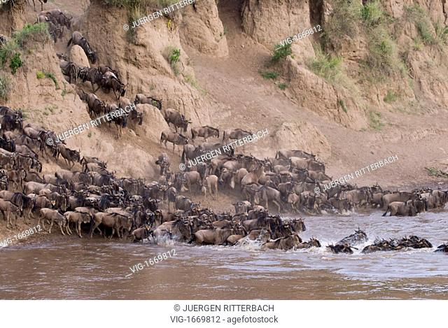 migration of the Blue Wildebeests, Wildebeests crossing Mara river, Connochaetes taurinus albojubatus, Masai Mara NATIONAL RESERVE, KENYA