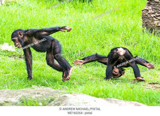 Two baby Chimpanzees playing