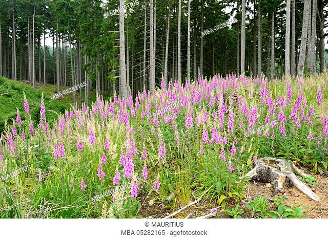 Germany, Saxony-Anhalt, Harz, spruce forest, purple foxglove on clearing
