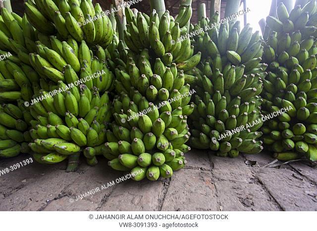 A banana vendor in green banana background that's why he showing branches of Ripe bananas at Dhaka, Bangladesh