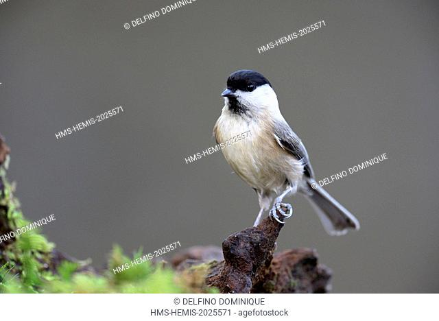 France, Doubs, Marsh Tit (Parus palustris) attached to a covered root foam