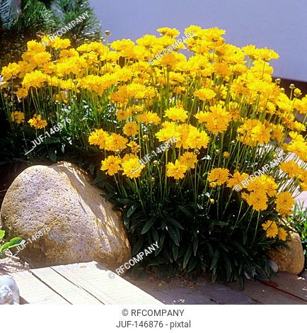 large flowered tickseed / Coreopsis grandiflora