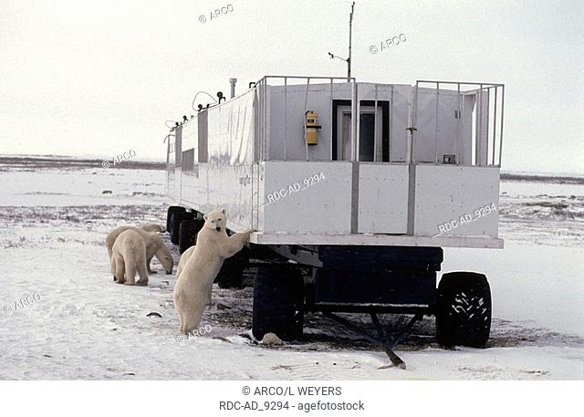 Polar Bears looking at tundra buggy Churchill Hudson Bay Manitoba Canada Ursus maritimus