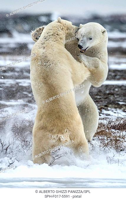 Two polar bears fighting. Churchill, Canada