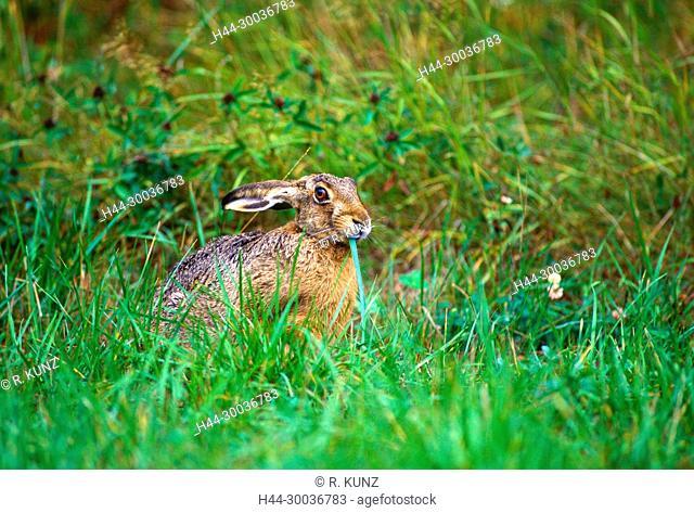 European Hare, Lepus europaeus, Leporidae, Hare, mammal, animal, browsing, Ängsön Nature reserve, Västmanland, Sweden