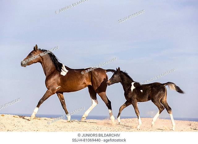Pintabian. Skewbald mare with foal, trotting in the desert. Egypt