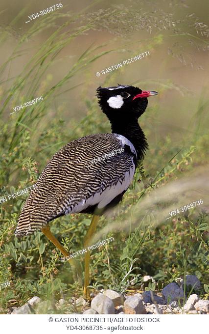 Northern black korhaan (Afrotis afraoides), also known as the white-quilled bustard, Kgalagadi Trasnfrontier Park, Kalahari desert, South Africa/Botswana