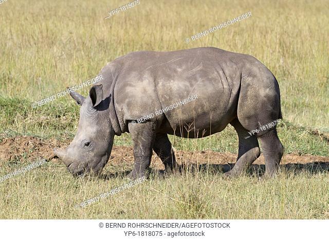 young White Rhinoceros Ceratotherium simum in savannah, Lake Nakuru National Park, Kenya