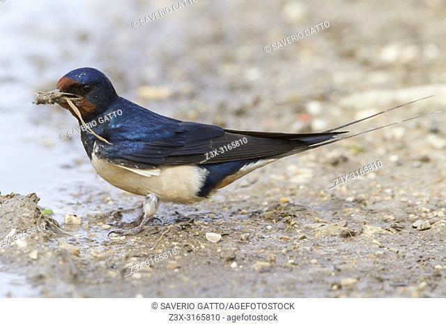 Barn Swallow (Hirundo rustica), adult collecting mud fot nest, Conza della Campania, Campania, Italy