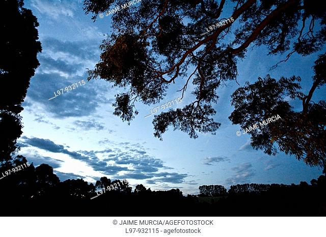 Silhouette of gum trees at dusk country Australia