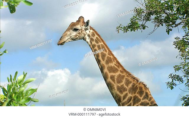 South African Giraffe neck and head in profile then looking at camera