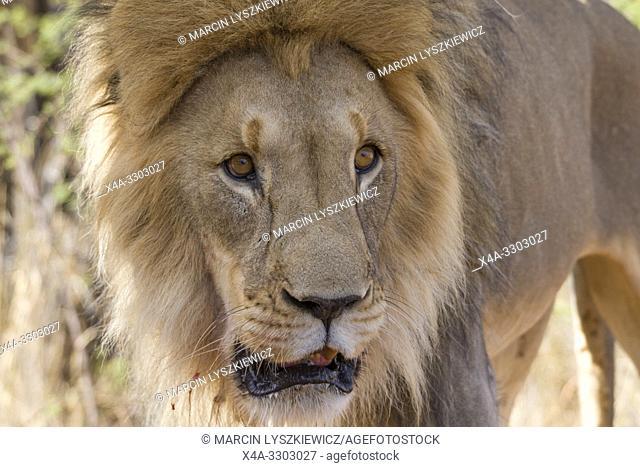 Portait of male lion (Panthera leo), Okonjima Nature Reserve, Namibia