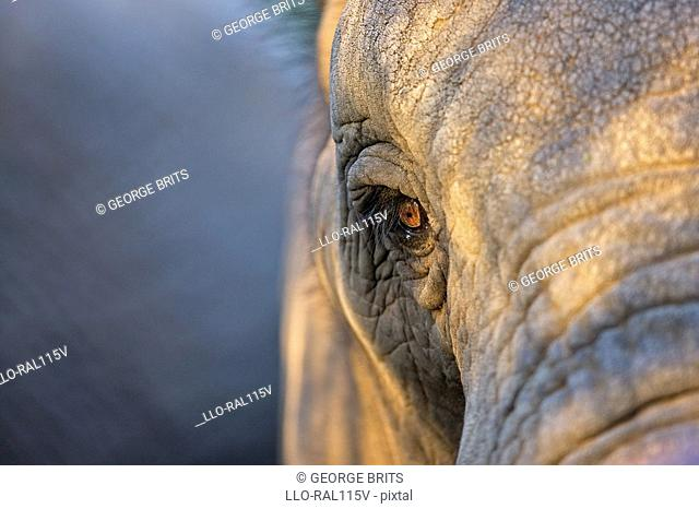 African Bush Elephant Loxodonta africana head, Greater Addo Elephant National Park, Eastern Cape Province, South Africa
