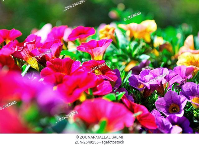 mini petunia in sunlight