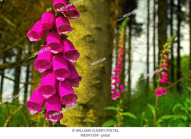Common Foxgloves (Digitalis purpurea) among the trees