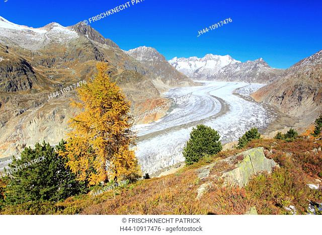 Aletsch, Aletsch glacier, Aletsch area, Aletsch glacier, mountains, Alps, stone pine, stone pines, stone pine wood, view, Aletsch wood, forest, big, great