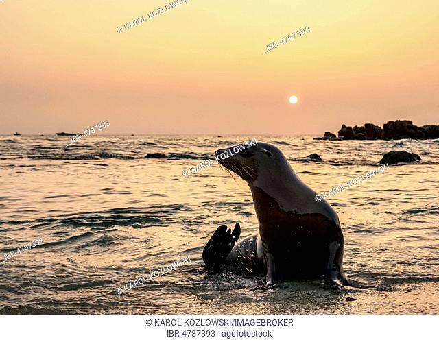 Galapagos sea lion (Zalophus wollebaeki) sitting in water at