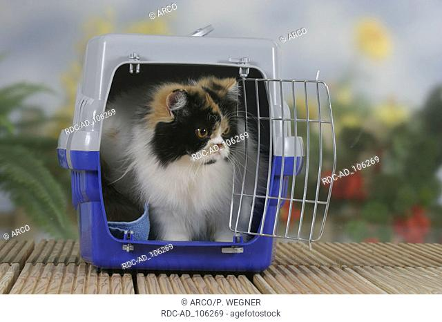 Persian Cat tortie-white-harlequin in kennel