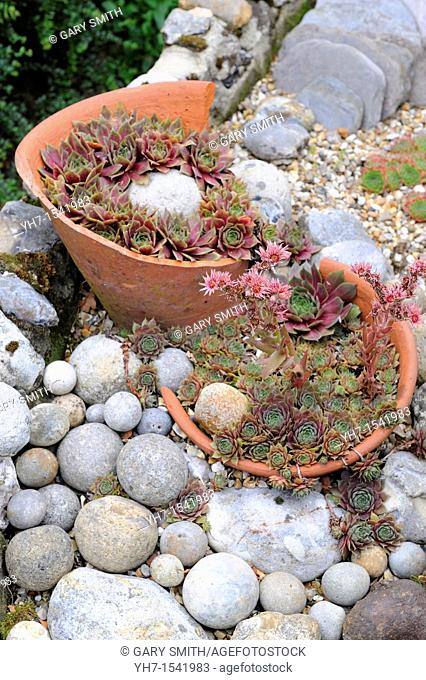 Sempervivum arrangement in terracotta pots and flint pebbles, UK, July