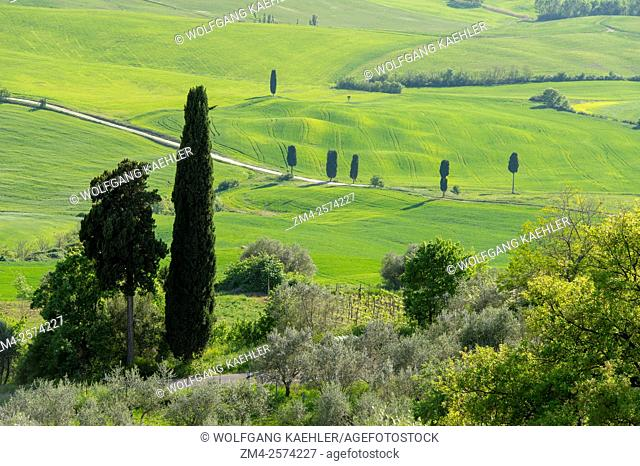View of the Val d'Orcia with Italian cypress trees (Cupressus sempervirens) from Pienza in Tuscany, Italy