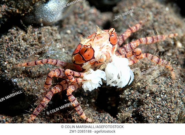 Pom-pom Crab (Lybia tesselata) with anemones on legs for protection on sand at Seraya in Bali in Indonesia