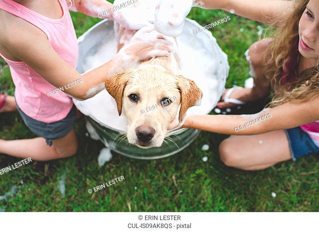 Labrador Retriever puppy in bucket looking up