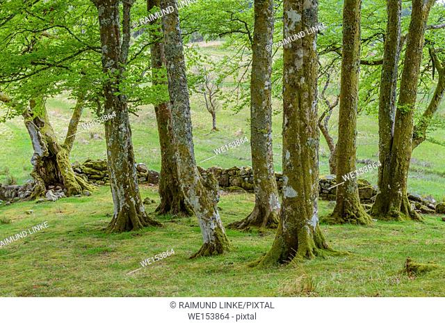 Small beech forest, Loch Awe, Scotland, United Kingdom
