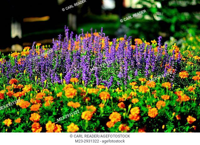 Purple salvia with orange marigolds, Pennsylvania, USA