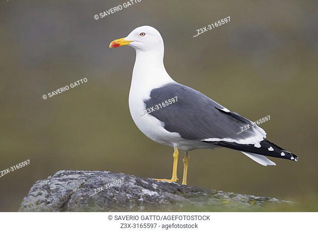 Lesser Black-backed Gull (Larus fuscus graellsii), adult standing on a rock