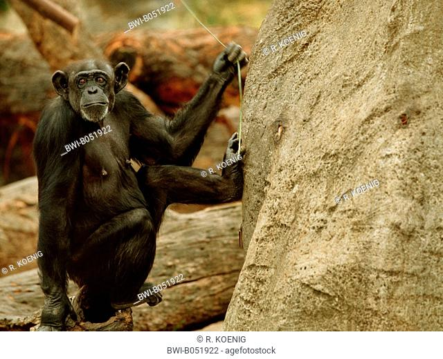 common chimpanzee (Pan troglodytes), Tool use by a chimpanzee, animal with wireat a artifical termite hill
