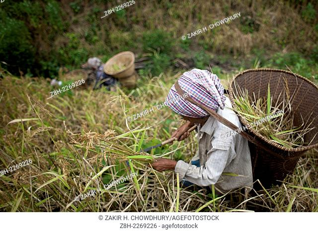 Indigenous farmers, with their family members, are now busy harvesting jhum rice from the hills amid festivity. Other crops, including bananas, maize