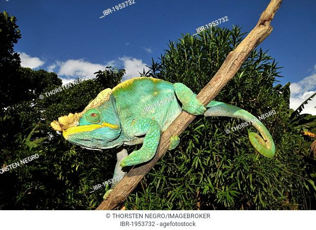 Parson's chameleon (Calumma parsonii) in the rain forests of the southeast coast of Madagascar, Africa, Indian Ocean