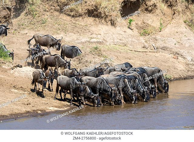 Wildebeests, also called gnus or wildebai, drinking water while waiting to cross the Mara River in the Masai Mara National Reserve in Kenya during their annual...