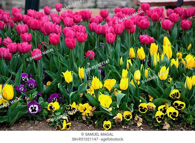 Turkey, Istanbul, Tulip Flowers