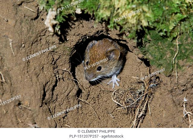 Wood mouse (Apodemus sylvaticus) head emerging from nest while leaving burrow