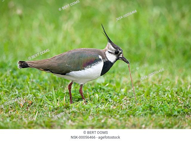 Northern Lapwing (Vanellus vanellus) pulling an earthworm out of the ground, The Netherlands, Drenthe, Bargerveen National Park