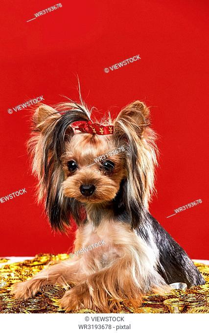 Lovely Yorkshire terrier