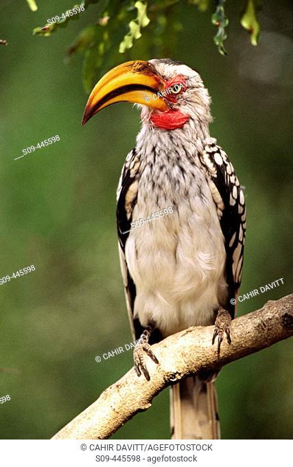 Yellow-billed Hornbill (Tockus leucomelas) at Skukuza, Kruger National Park. Mpumalanga, South Africa