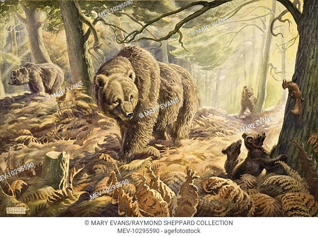 A Family of brown bears pace through a fern-laden wood. Two young bear cubs are interested in a red squirrel, safely halfway up a tree trunk! Pastel drawing by...