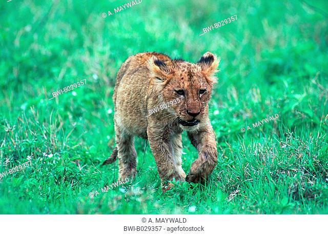 lion (Panthera leo), walking cub, Ngorongoro NP, Tanzania, Ngorongoro National Park