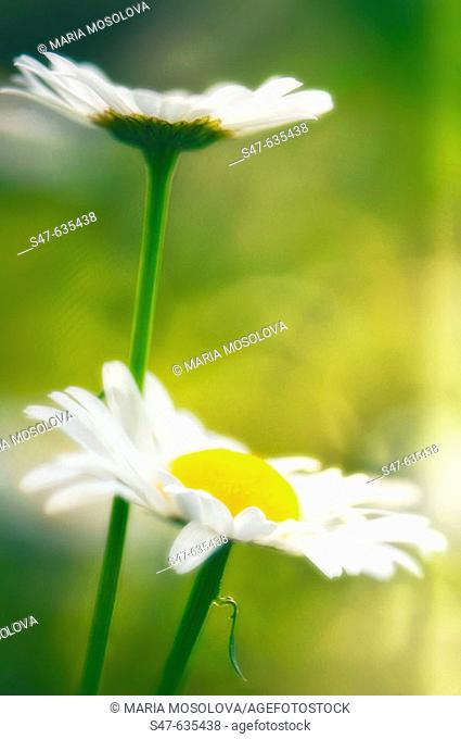 Shasta daisies. Leucanthemum x superbum. May 2006. Maryland, USA