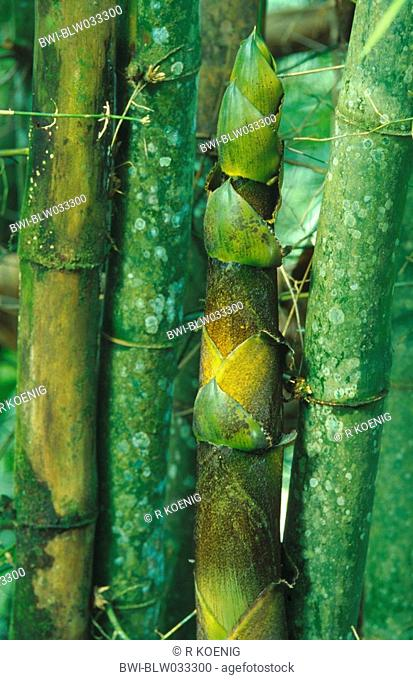 clumping bamboo Bambusa spec., detail of the sprout-top, Trinidad and Tobago