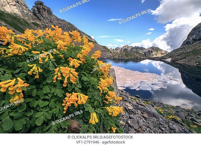 Orobie alps, flowers at Rotondo lake, Gerola valley, Lombardy, Italy