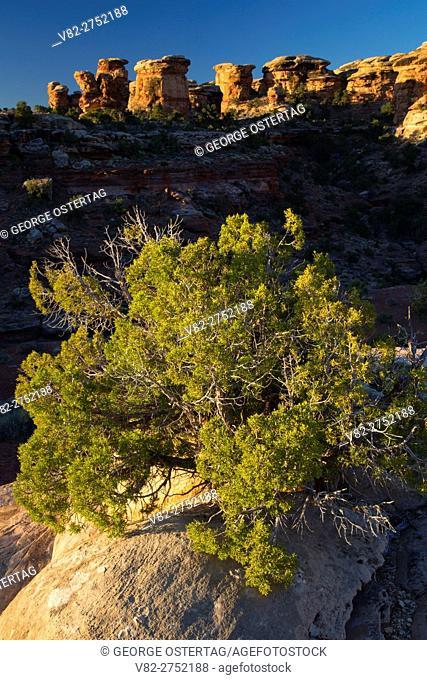 Juniper near Big Spring Canyon, Canyonlands National Park, Utah