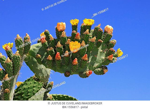 Flowering and fruiting Prickly pear (Opuntia ficus-indica), opuntia, Indian figs
