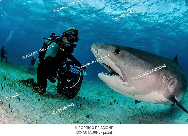 Underwater view of scuba diver on seabed feeding tiger shark, Tiger Beach, Bahamas